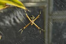 """Argiope Argentata (""""Araña Tigre"""" O """"Araña Plateada"""")"""