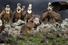 Griffon Vultures And Golden Jackal In The Rodopi Mountain Range. Vultures Are Fighting With Jackal On The Rock. Two Scavengers Have A Conflict.
