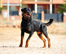 A Strong Rottwiler In The Field
