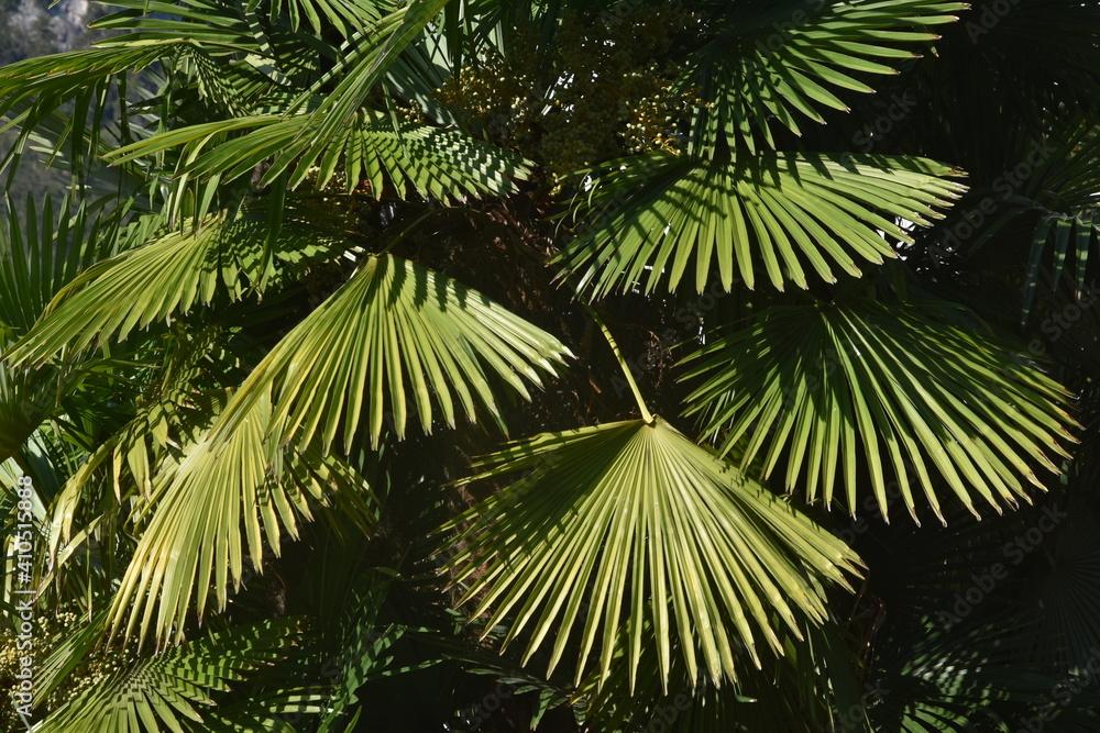 Fototapeta palma, liść