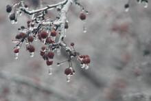 Ice On Red Crabapple Tree Berries