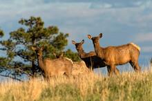 Cow Elk (Cervus Canadensis) Standing On Ridge;  Custer State Park;  South Dakota