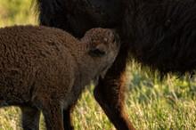 Bison (Bison Bison) Cow Nursing Calf;  Custer State Park;  South Dakota
