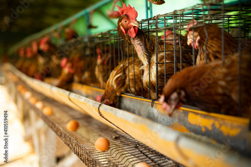 Cuadros en Lienzo Egg poultry farm and hens