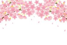 Cherry Blossom Vector Illustration.