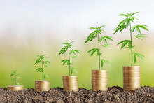 Cannabis Plant On Coins Stack.Marijuana Growing Business Concept.