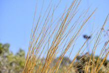 Selective Focus Shot Of Tall Dry Yellow Grass In A Field Against A Blue Sky
