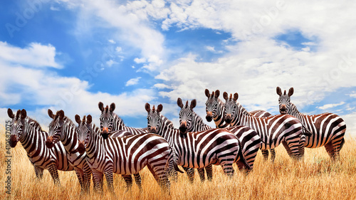 Wild zebras in the African savanna against the beautiful blue sky with white clouds. Wildlife of Africa. Tanzania. Serengeti national park. African landscape.