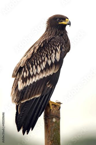 Aigle criard. Clanga clanga. Oman. Espèce vulnérable © brimeux