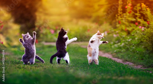 Obraz na plátně three agile cats in the summer in a sunny meadow they play on the green grass an