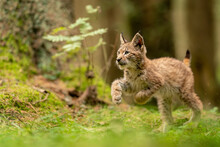 Cute And Curious Small Lynx Cub In A Green Forest Grass