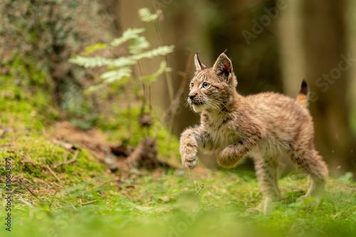 Obraz na plátně Cute and curious small lynx cub in a green forest grass