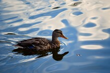 Beautiful Female Mallard Duck Looking For Food In Clear Summer Pond