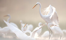 Great Egrets Fighting In Misty Morning