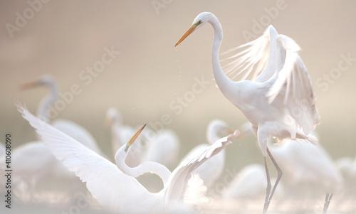 Fotografía Great Egrets fighting in misty morning