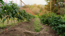 Vegetable Gardening, Vegetable Garden, Herbs, Eggplant, Grown In A Forested Garden.