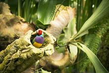 Gould Finch Bird Inside Its Nest In A Tree