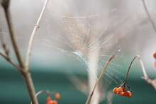Spider Web On The Hawthorn Bush With Red Berries In Blurred Bokeh.