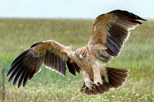 Aigle ibérique tombant sur une proie. Aquila adalberti. Cordoue, Espagne. Espèce menacée d'estinction © brimeux