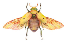 Watercolor Grapevine Beetle Or Spotted June Beetle (Pelidnota Punctata). Hand Painted Insect Illustration Isolated On White Background.