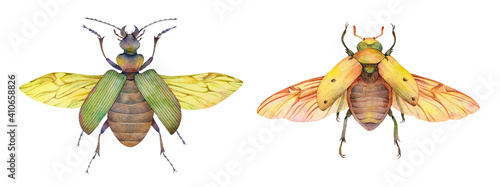 Fotografia Watercolor fiery searcher beetle (Calosoma scrutator) and grapevine beetle (Pelidnota punctata)