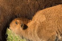 Bison (Bison Bison) Calf Nursing;  Custer State Park;  South Dakota