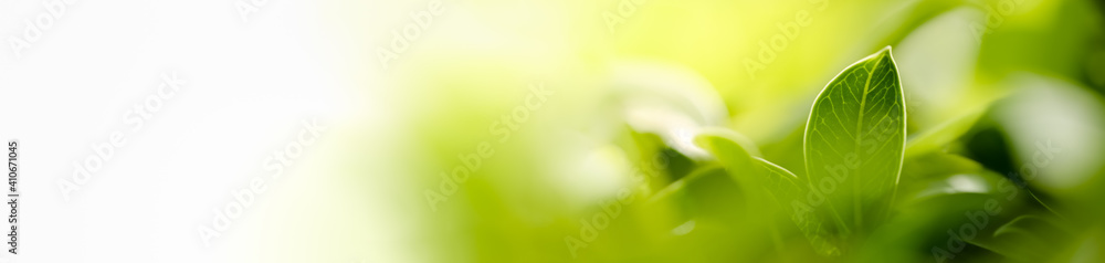 Fototapeta Nature of green leaf in garden using as background natural leaves cover page