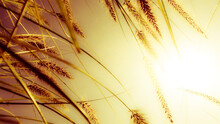 Golden Spikelets Grass Against Sunlight Background In Bright Warm Colors. Grass Spikelets Plants In Golden. Abstract Relax Golden Sunshine Wallpaper Macro Nature Yellow Spikelets Grass On Sunset.