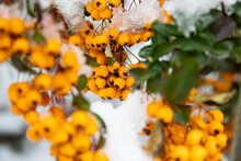 Yellow Berries Under The Snow. Scarlet Firethorn (Pyracantha Coccinea). Yellow Scarlet Firethorn Berries In Nature. Selective Focus. Winter Time.