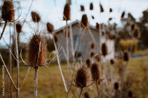 Obraz na plátně Closeup shot of dry thistle flowers growing in a field
