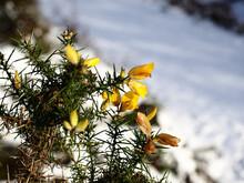 Closeup Shot Of Blooming Gorse Bushes