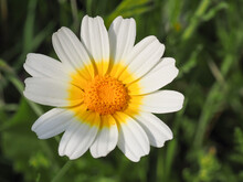 Garland Chrysanthemum Or Glebionis Coronaria Blossom. White Daisy Like, Marguerite Flower With Yellow Center. Chrysanthemum Coronarium Is Leaf Vegetable, Flowering Plant In The Daisy Family Asteraceae