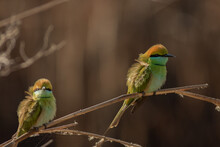 Two Green Bee-eaters On The Branch