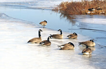 A Flock Of Canada Geese Resting On Ice And Snow Covered Marsh In Early Spring