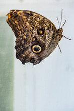 'Caligo Illioneus' ( Owl Butterfly ) Resting In A Butterfly House