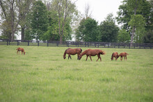A Family Of Brown Horses Grazing In A Green Pasture. There Are 2 Adult Horses And 3 Foals.