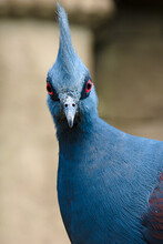 Vertical Shot Of A Western Crowned Pigeon (Gura) With Blue Fea