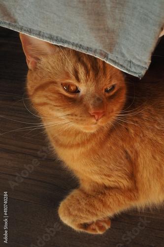 Fototapeta Rudy kot przekryty tkaniną u góry zaciekawiono patrze obraz