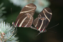 Butterfly 2019-260 / Zebra Longwing (Heliconius Charithonia)