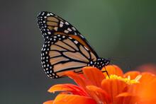 Butterfly 2020-69 / Monarch Butterfly (Danaus Plexippus)