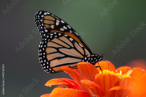 Obraz na plátně Butterfly 2020-69 / Monarch butterfly (Danaus plexippus)