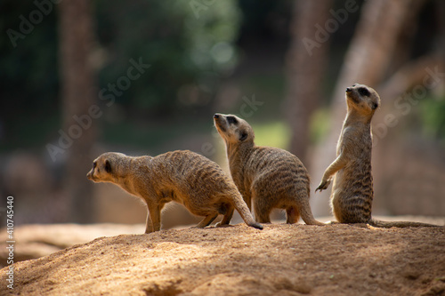 Fototapety, obrazy: Meerkats, the meerkat family, wild animals in their environment