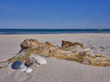 A Collection Of Sea Shells Of Various Shapes And Colors Sits On A Piece Of Driftwood On The Empty Desolate Beach Of Island Beach State Park On A Perfect Spring Afternoon