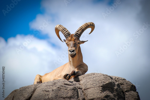 mountain goat on the rock