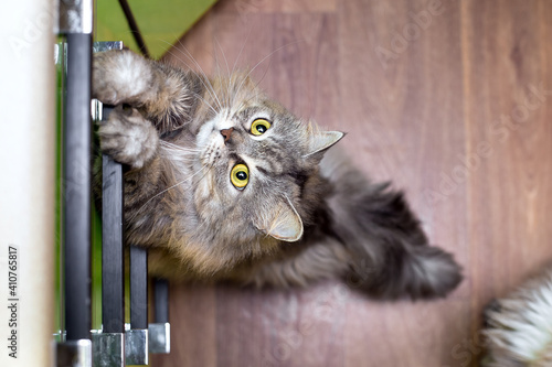 Fotografia, Obraz domestic cat with big eyes and gray striped fur stands on its hind legs in the kitchen and asks for food, top view of the pet in a green kitchen with a brown floor