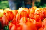 Fototapeta Tulipany - Close-up Of Orange Tulips