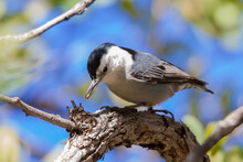 A White-breasted Nuthatch Perches On A Branch With A Seed In Its Beak.