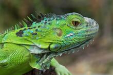 Close Up Photo Of The Green Iguana