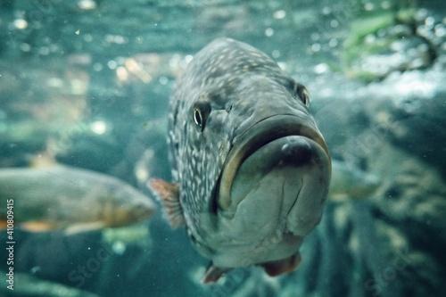 Stampa su Tela Close-up Of Fish Swimming In Aquarium