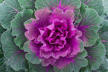 Close Up Of Large Colorful Oriental Pink Cabbage With Wavy Leaves.